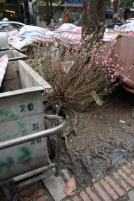 A sadly abandoned peach tree - Consumerism is so obsessive at this time of the year that peach trees are thrown out as Tet gets closer in order to make way for a newer, fresher one...