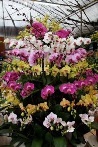 Phalaenopsis Orchid displays