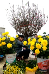 Peach trees and more chrysanthemums