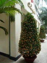 The two huge Kumquat trees in front of our building