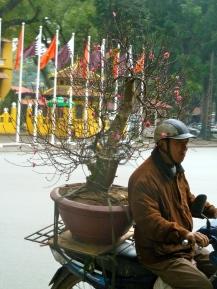 Bonsai style stunted peach trees