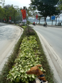 The perils of being a hound in Hanoi - Tala patiently waits in the central reservation as we try to catch photos of the motorbikes wizzing by
