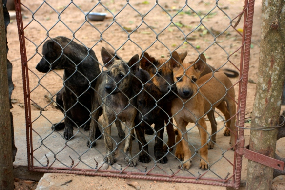 Puppies at a kennel on Phu Quoc Island