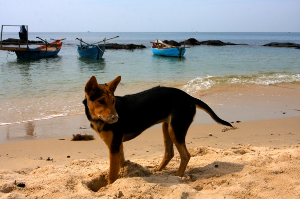 A female Phu Quoc puppy at Mango Bay on Phu Quoc Island