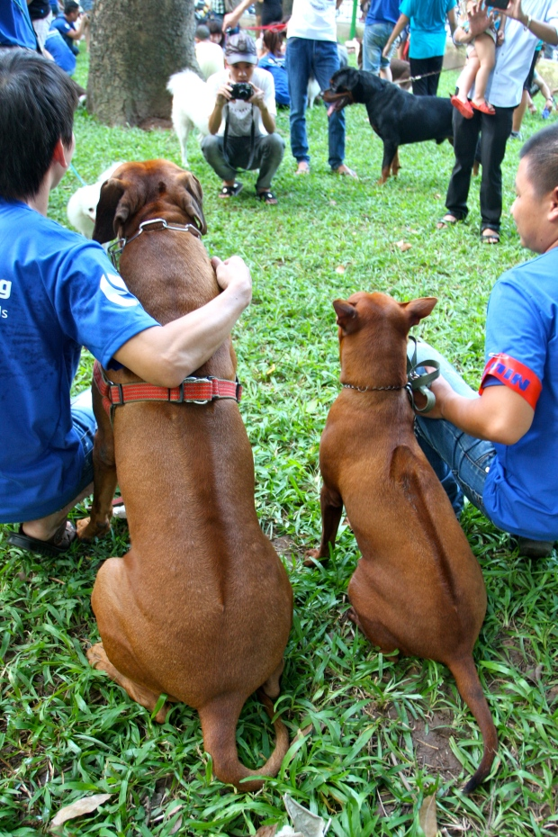 Different ridgebacks: A Rhodesian Ridgeback on the left and a Phu Quoc on the right
