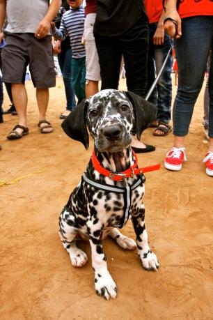 A Dalmation puppy