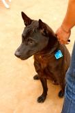 A handsome Phu Quoc Dog