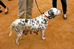 A poor Dalmation who has clearly been having far too many puppies