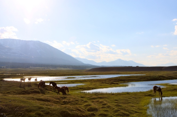 A herd of horses grazing on the marshy edges of Khurgan Nuur