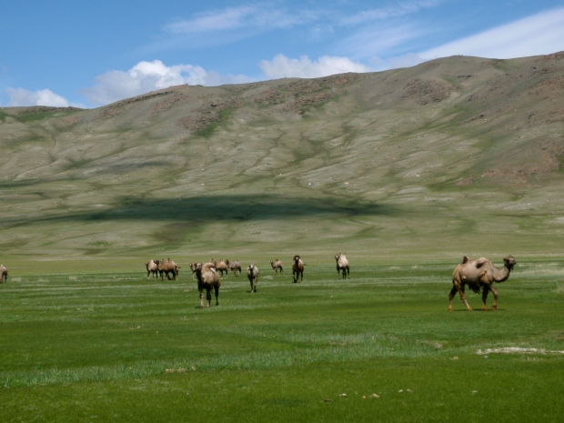 A herd of Bactrian camels