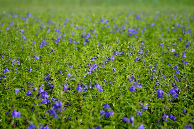 fields of Scutellaria scordifolia