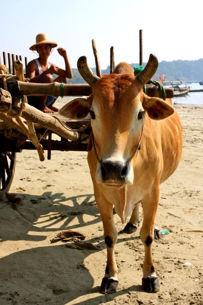 ox carts on the beach