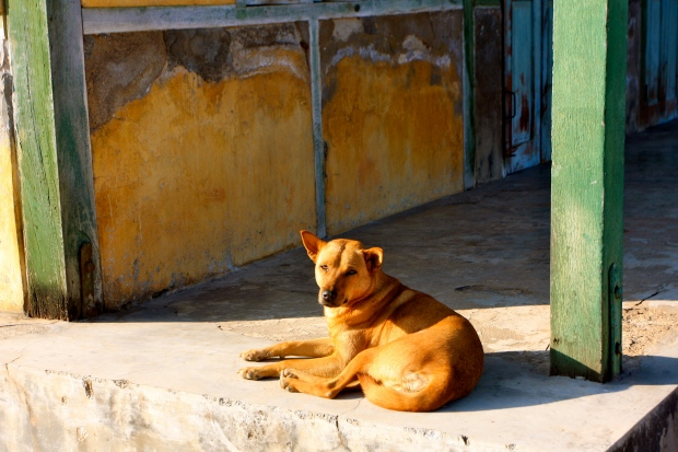A local pariah dog enjoying the sun