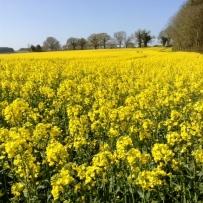 Fields of oil seed rape